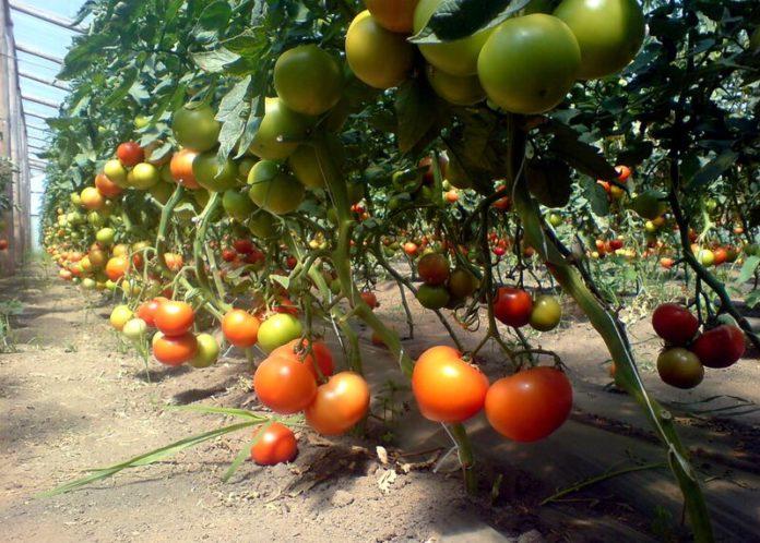 rosii _gradina tomate