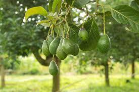 copac-avocado