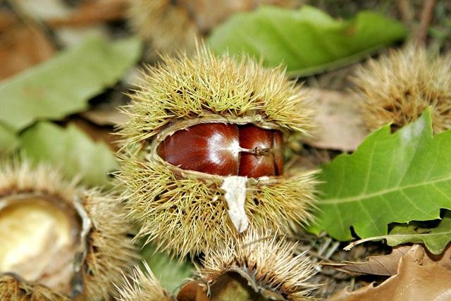castan-comestibil-copac
