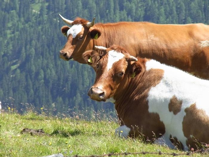 crescatori-bovine-europa-canada-acord-CETA
