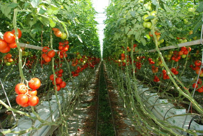roșii-colibași-preț