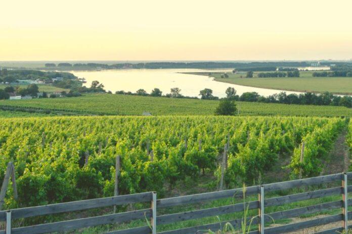 vin vie struguri